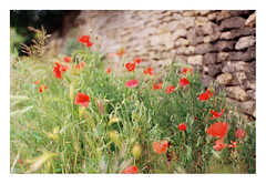 FILM - roadside poppies (zuffleking) Tags: fed2 jupiter3 kodakektar100