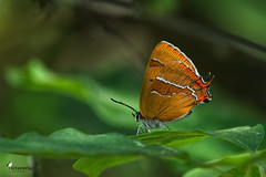 Brown hairstreak (Picturavis) Tags: schmetterling insekt weibchen germany deutschland hallesaale nierenfleckzipfelfalter butterfly theclabetulae female brownhairstreak insect