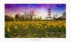 flower feeling (Diana Ruder Photography) Tags: city sky flower landscape stuttgart turm blooming blumenfeld nature natural naturfotografie dianaruder t