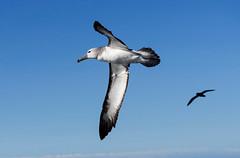 Salvin's Albatross (Thalassarche salvini) (Kremlken) Tags: thalassarchesalvini chilean pelagic southamerica humboldtcurrent pacificocean seabirds birds birding birdwatching nikon500 nature winter