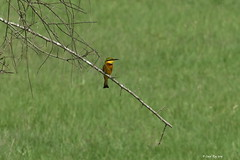 1.08658 Guêpier nain / Merops pusillus meridionalis / Little Bee-eater (Laval Roy) Tags: uganda afrique africa birds oiseaux aves lavalroy guêpiernain meropspusillusmeridionalis littlebeeeater coraciiformes méropidés