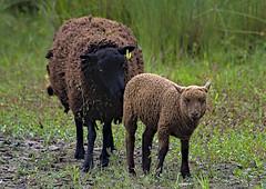 Soay 2 9 July 2019 (Tim Harris1) Tags: nikond7100 nikkor80400afs sculthorpemoor norfolk sheep stay animal