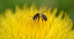 a solitary bee on a giant knapweed (Centaurea macrocephala) (conall..) Tags: nikon afs nikkor f18g lens 50mm prime primelens nikonafsnikkorf18g closeup raynox dcr250 macro botanic park belfast southbelfast northernireland bee giant knapweed centaurea macrocephala giantknapweed centaureamacrocephala yellow flower pollen load