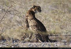 Cheetah, Etosha NP, Namibia (JH_1982) Tags: cheetah gepard acinonyx jubatus cat felinae guépard 猎豹 チーター 치타 гепард animal wildlife nature tier natur etosha national park nationalpark np pn parque parc nacional etoscha 埃托沙國家公園 этоша namibia namibië 纳米比亚 ナミビア 나미비아 намибия