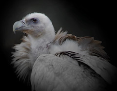 Poised for Action (A.J.Pendleton-Lightbox 2008) Tags: vulture bird nature wildlife