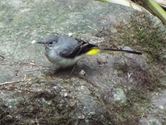 Grey Wagtail on the River Onny, near the Shropershire Hills Discovery Center, Craven Arms, Shropshire, England, July 9, 2019 (gurdonark) Tags: bird birds wildlife grey wagtail shropshire hills discovery center river onny