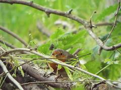 Robin, Shropshire Hills Discovery Centre, Craven Arms, England, July 9, 2019 (gurdonark) Tags: bird birds wildlife english robin shropshire hills discovery centre craven arms england