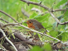 Robin, Shropshire Hills Discovery Centre, Craven Arms, England, July 9, 2019 (gurdonark) Tags: bird birds wildlife english robin shropshire hills discovery centre craven arms england