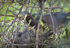 Supper Time (Nick Scobel) Tags: green heron butorides virescens nest baby fledling feeding rookery bird wading wader ardeidae