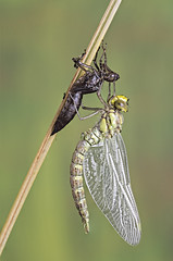Breaking Free (Gary Stamp cPAGB) Tags: dragonfly pond canon macro willdife nature