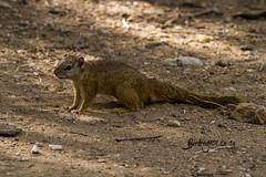 Tree Squirrel, Tsendze, Kruger National Park, June 2019 (roelofvdb) Tags: 2019 date june year mopani knp rod71 treesquirrel