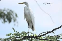 Egret_2050ee (Porch Dog) Tags: 2019 garywhittington nikond750 nikkor200500mm july summer nature wildlife lbl landbetweenthelakes betweentherivers bird avian egret feathers
