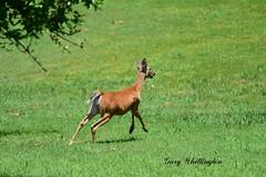 Deer-Whitetail-Doe_2040e (Porch Dog) Tags: 2019 garywhittington nikond750 nikkor200500mm july summer deer whitetail wildlife nature