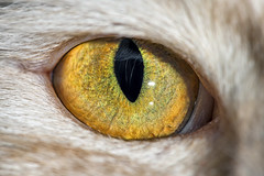 Photo exhibition 1/6: the eye of Pablo (Tambako the Jaguar) Tags: cat domestic male mainecoon cream beige eye close macro yellow flash fällanden switzerland nikon d850 closeup exibition