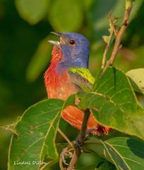 Painted Bunting (Lindell Dillon) Tags: paintedbunting neotropical summer birds birding nature oklahoma wildoklahoma