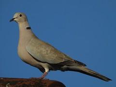 Maman est fière ... (Faapuroa) Tags: bird oiseau tourterelle turtledove tourterelleturque streptopeliadecaocto eurasiancollareddove nikon coolpix p1000
