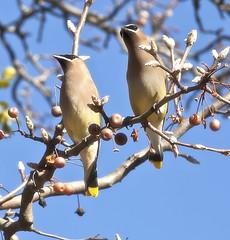 pair of cedar waxwings (Anne Davis 773) Tags: 2019365 185365 cedar waxwings bird
