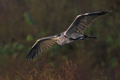 Airone Cenerino (Ricky_71) Tags: ardea cinerea grey heron swamp sunshine wild nikon
