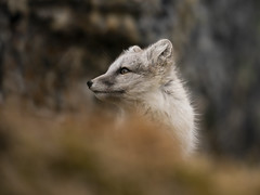 Arctic Fox (msmedsru) Tags: svalbard norway arctic fox kit summer tundra wildlife