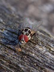 Mouche des pluies (anthomyia pluvialis) mâle (pierre.pruvot2) Tags: fly mouche diptère insecte arthropode olympus60mmmacro macro lumixg9 panasonic france pasdecalais maraisdeguînes chemindestêtards