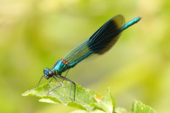 Banded Demoiselle at St Clairs Meadow, Droxford (Art-G) Tags: insect damselfly bandeddemoiselle stclairsmeadow naturereserve droxford hampshire uk canon eos7dmkii sigma150600c extensiontube macro bokeh sundaylights
