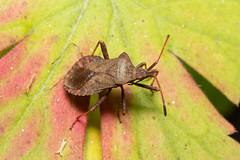 Coreus marginatus (Dock Bug) - Coreidae - Adventurer's Fen Fen, Wicken Fen NNR, Cambridgeshire, UK-2 (Nature21290) Tags: cambridgeshire coreidae coreus coreusmarginatus dockbug fen hemiptera july2019 uk wickenfennnr insect