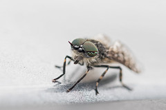 Cleg (Philip McErlean) Tags: cleg horsefly haematopota pluvialis blood sucker