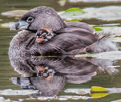 Pied Billed Grebe | Seattle (sunrisesoup) Tags: piedbilledgrebe bird chick seattle wa usa lakewashington baby spring lilypad nature water mother family reflection rider