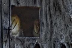 You got to take the shot (Kevin E Fox) Tags: barnowl owl owls bombayhookwildliferefuge bombayhook kentcounty smyrna delaware juvenile raptor bird birdwatching birding birds birdofprey birdphotography sigma150600sport sigma nature nikond500 nikon