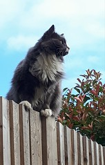 Pia keeping a watchful eye! (Rachel_ B) Tags: cats ragdoll garden fence skyblue photinia