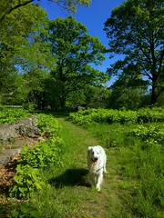 My Good Buddy, Doing His Thing (RobertCross1 (off and on)) Tags: bailey goldenretriever dog pet mansbestfriend boston ma massachusetts franklinpark spring blueskies forest woods iphone iphone6 iphoneography portrait newengland