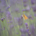Skipper in the lavender