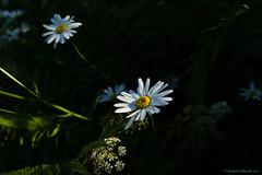 Leucanthemum (Rourkeor) Tags: 35mm 35mmzeisssonnartlens ayrshire carlzeiss cumnock dumfrieshouse leucanthemum rx1r scotland sony summer uk daisy depthoffield flora flowers fullframe gardens lightshadows nature unitedkingdom sonyflickraward