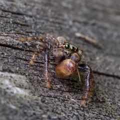Mâle araignée sauteuse (marpissa muscosa) et sa proie (pierre.pruvot2) Tags: araignée salticidés arthropodes marpissa macro olympus60mmmacro lumixg9 panasonic france pasdecalais maraisdeguînes chemindestêtards