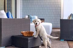 """""""I'm innocent"""", said no puppy 🐶 ever #althea ⚡️#goldenretriever (Alex Beattie) Tags: althea golden dog california westlake artisanbrandingcom"""