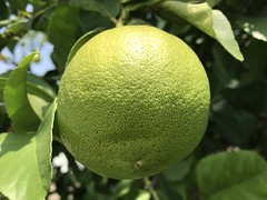 lemon (sirhowardlee) Tags: lemon fruit fruta limon