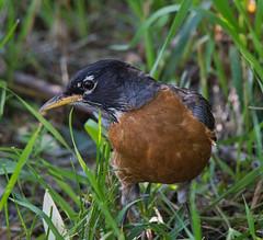 I me out (silver_ring) Tags: robin luminar bird birding animal close d500