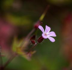 Pretty weeds (mysticislandphoto) Tags: garden plant weed geranium carolinageranium