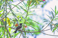 TINY SUNBIRD  --  NECTARINA (Ezio Donati is ) Tags: uccelli birds animali animals natura nature fiori flowers alberi trees foresta forest westafrica costadavorio areasanpedro