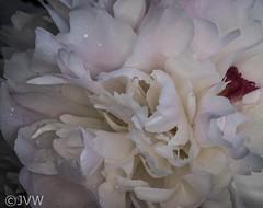 Peony Macro #3 (NetReacher Image Studios) Tags: peony peonies flowers flower gardenflower flowerbush paeoniasuffruticosa paeoniaceae paeonia