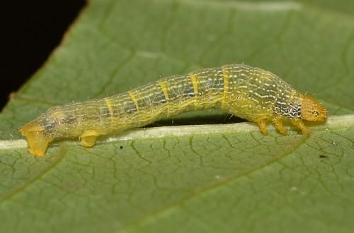 # 6599 – Epimecis hortaria – Tulip-tree Beauty Moth caterpillar (ID thanks to Cassie Novak)