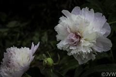 Peony Macro #2 (NetReacher Image Studios) Tags: peony peonies flowers flower gardenflower flowerbush paeoniasuffruticosa paeoniaceae paeonia