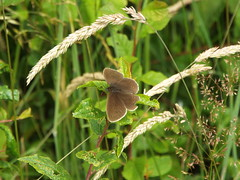 Ringlet Butterfly (gurdonark) Tags: ringlet butterfly wildlife shropshire hills discovery centre center craven arms england