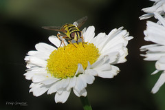 Batman Hoverfly (Myathropa florea). (Vitaly Giragosov) Tags: batmanhoverfly myathropaflorea insect crimea sevastopol russia мухажурчалка насекомые севастополь крым рф