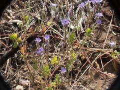 Distant Phacelia ( Boraginaceae, Phacelia distans) (aking1) Tags: 5petals boraginaceae common distantphacelia lavender phaceliadistans plants julian california unitedstatesofamerica