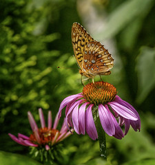 Standing Tall (Portraying Life, LLC) Tags: dbg6 da3004 hd14tc k1mkii matthaeibotanicalgardens michigan pentax ricoh unitedstates butterfly closecrop handheld nativelighting