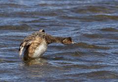 Eared Grebe taking off from Mono Lake, CA (fasteddie77) Tags: earedgrebe monolake