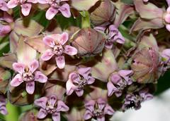 Common Milkweed (jmunt) Tags: wildflower flower milkweed asclepiassyriaca