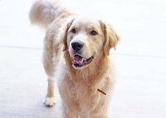Mojave at two (Karon Elliott Edleson) Tags: dog golden goldenretriever pet closeup mansbestfriend