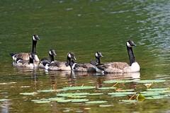 Bringing Up Baby (kevinwg) Tags: canada geese goslings goose lake pond water